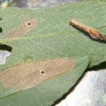 Coleophora lusciniaepennella - Slanke wilgenkokermot