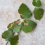Coleophora siccifolia - Grote bladkokermot