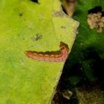 Cosmopterix zieglerella - Hopprachtmot
