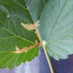 Cosmopterigidae Prachtmotten