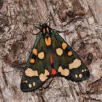 Callimorpha dominula - Arlon ~ Domaine Privé (Luxemburg)  (17-06-2017) ©Steve Wullaert
