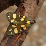 Callimorpha dominula - Furfooz ~ Parc naturelle de Furfooz (Namen) - 27-06-2020 ©Steve Wullaert
