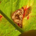 Calybites phasianipennella - Viervleksteltmot