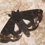 Catephia alchymista - Zutendaal ~ Lieteberg (week van het insect) Limburg 02-06-2019 ©Steve Wullaert