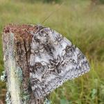 Catocala fraxini - Arlon ~ Domaine Privé (Luxemburg) 11-09-2021 ©Steve Wullaert