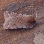Cerastis rubricosa - Furfooz ~ Parc Naturelle de Furfooz (Namen) 07-04-2018 ©Steve Wullaert