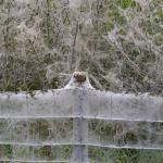 Cf. Yponomeuta cagnagella - Koksijde ~ Doornpanne - 1000-soortendag - West-Vlaanderen 19-05-2018 ©Steve Wullaert