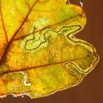 Stigmella roborella Gewone eikenmineermot