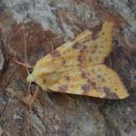 Cirrhia icteritia - Visé ~ Montagne Sainte-Pierre (Luik) 25-09-2021 ©Steve Wullaert