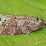 Cnephasia incertana - Spikkelbladroller