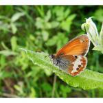 Coenonympha arcania - Arlon ~ Domaine Privé (Luxemburg)  (17-06-2017) ©Dries De Vreeze