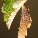 Coleophora adjectella - Sleedoornkokermot
