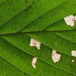 Coleophora badiipennella - Iepenkokermot