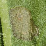 Coleophora follicularis - Koninginnekruidkokermot