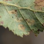 Coleophora fuscocuprella - Lichte groenglanskokermot