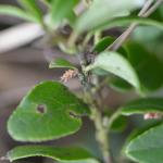 Coleophora juncicolella - Heidelootjeskokermot