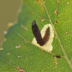 Coleophora orbitella - Okergrijze kokermot