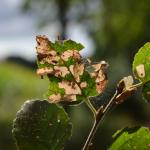 Coleophora siccifolia - Neerpelt ~ Het Hageven (Limburg) - 05-09-2020 ©Steve Wullaert