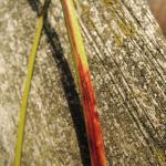 Monochroa suffusella - Tweevlekboegsprietmot
