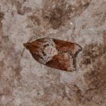 Acleris laterana - Arlon ~ Domaine Privé (Luxemburg) 25-08-2018 ©Steve Wullaert