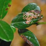 Phyllonorycter junoniella - Vossenbesvouwmot