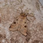 Diarsia mendica - Arlon ~ Domaine Privé (Luxemburg)  (17-06-2017) ©Steve Wullaert