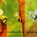 drieluik heringi - subbimaculella - albifasciella ©Steve Wullaert