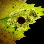 Ectoedemia occultella Ronde berkenblaasmijnmot
