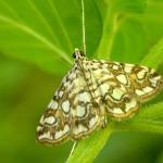 Elophila nymphaeata - Waterleliemot