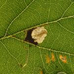 Ectoedemia albifasciella - Neerpelt ~ Het Hageven (Limburg) - 05-09-2020 ©Steve Wullaert