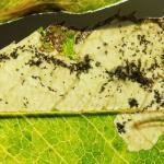 Ectoedemia angulifasciella - Rozenblaasmijnmot