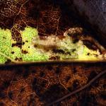 Ectoedemia argyropeza - Espenbladsteelmineermot