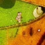 Ectoedemia heringi - Oostelijke eikenblaasmijnmot