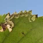 Ectoedemia minimella - Arlon ~ Domaine Privé (Luxemburg) 25-08-2018 ©Steve Wullaert