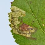 Ectoedemia minimella - Gerekte berkenblaasmijnmot
