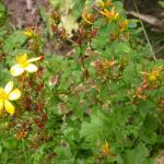 Ectoedemia septembrella - Hertshooimineermot