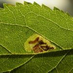 Ectoedemia spinosella - Sleedoornblaasmijnmot