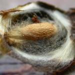 Ectoedemia weaveri - Vossenbesmineermot