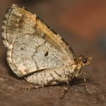 Electrophaes corylata - Zutendaal ~ Lieteberg (week van het insect) Limburg 02-06-2019 ©Steve Wullaert
