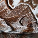 Endromis versicolora - Neerpelt ~ Het Hageven (Limburg) 30-03-2019 ©Philippe Vanmeerbeeck