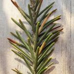 Epinotia nanana - Kleine oogbladroller