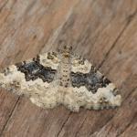 Epirrhoe galiata - Furfooz ~ Parc naturelle de Furfooz (Namen) 03-08-2019 ©Steve Wullaert