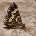 Epirrhoe tristella - Emmels (Luik) 11-08-2019 ©Steve Wullaert