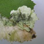 Eriocrania cicatricella - Roze purpermot