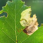 Eriocrania sparrmannella - Arlon ~ Domaine Privé (Luxemburg)  (17-06-2017) ©Ben Steeman
