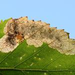 Eriocrania sparrmannella - Late purpermot