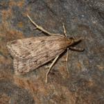 Eudonia pallida - Neerpelt ~ Het Hageven (Limburg) 13-10-2018 ©Steve Wullaert