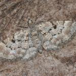 Eupithecia abietaria - Stockay ~ Terrils et Decanteurs (Luik) 15-06-2019 ©Steve Wullaert