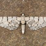 Eupithecia venosata - Aywaille ~ Heid des Gattes (Luik) - 21-06-2020 ©Damien Gailly