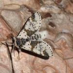 Furcula bicuspis - Nismes ~ Tienne Breumont (Namen) 21-07-2018 ©Steve Wullaert
